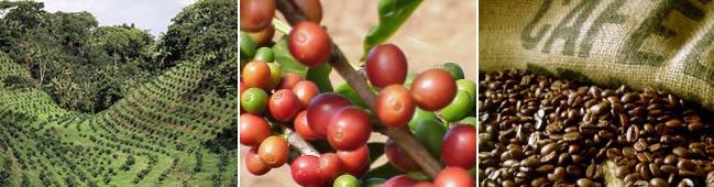 Rohkaffee / Green Coffee
